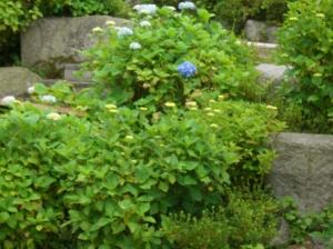 咲き始めた紫陽花(あじさい)