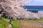 2011_池田川の桜