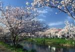 瑞梅寺川 桜並木 池田