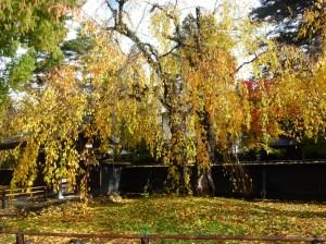 角館武家屋敷の枝垂桜の黄葉