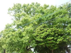 生い茂った公園の樹木(5月20日撮影).