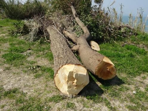 倒木間もない銀杏の木(左側)