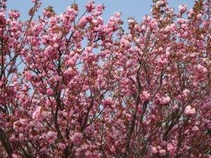 華爛漫の八重桜