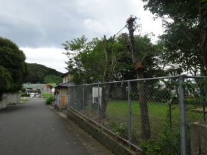 サッハリなった樹木(7月12日撮影)