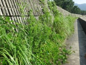 防風柵が雑草で覆われようとしてる(7月29日撮影)