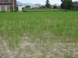 平原歴史公園のコスモス畑(9月17日撮影)
