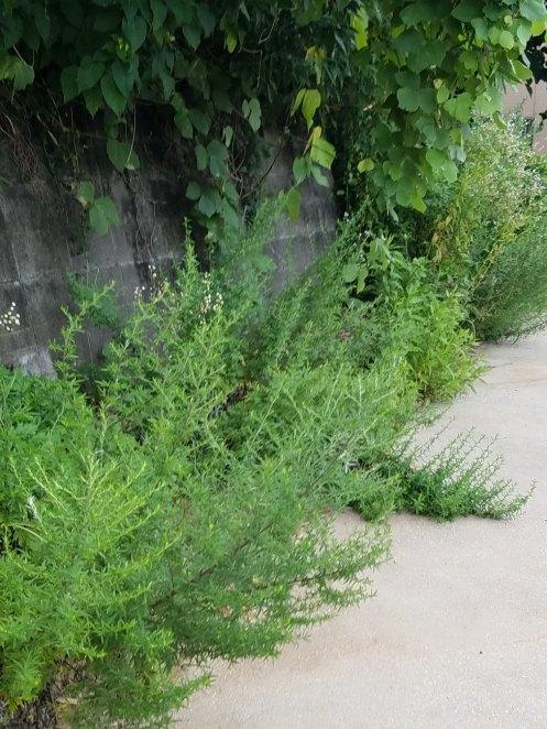 展望広場に雑草が侵入